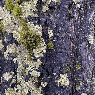 Lichen on a linden tree on Ruoholahdenranta street | by annette.arlander