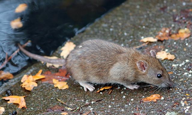 Foraging Rat!