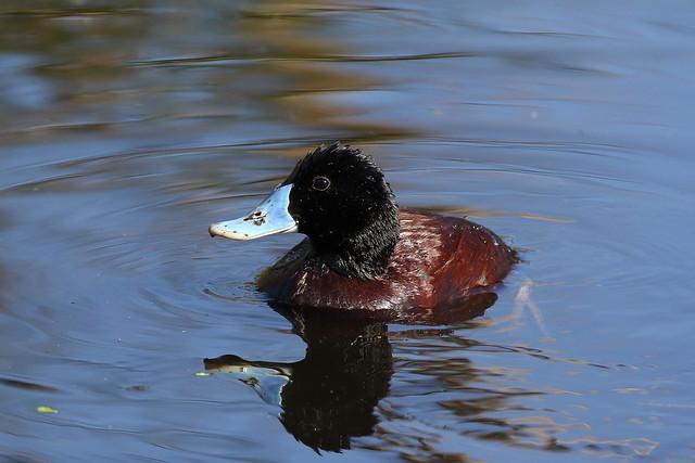 Blue-billed duck (Oxyura australis) - Male