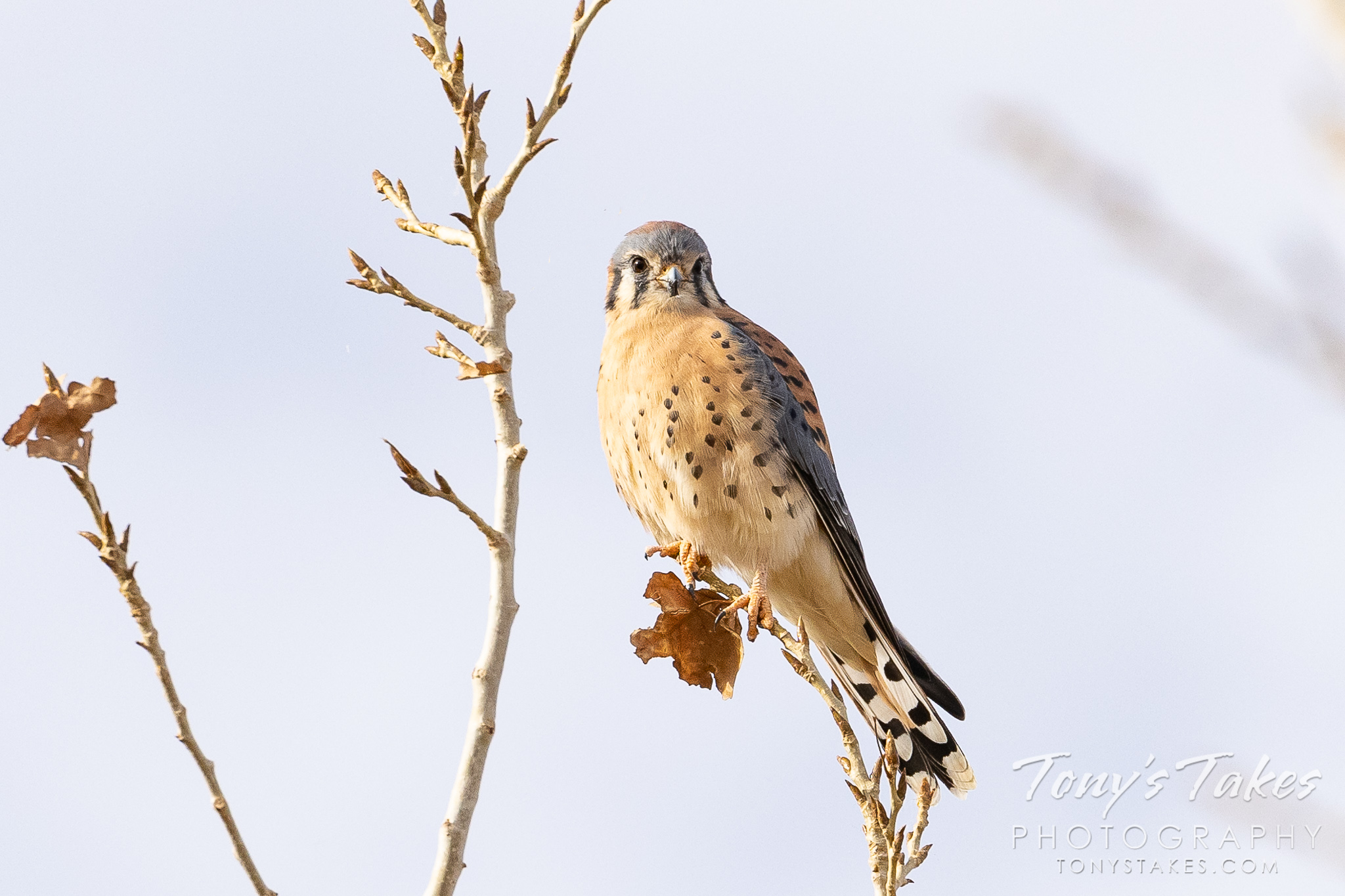 American Kestrel takes a break from the hunt