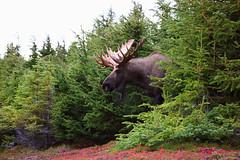 A Beast Emerges, Massive Bull Moose, Alaska