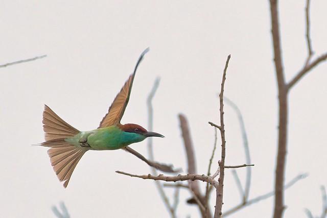 Blue-throated Bee-eater - Merops viridis