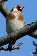 Chardonneret élégant - Carduelis carduelis - European Goldfinch : IMG_3181_©_Michel_NOEL_2020_Lac-Creteil