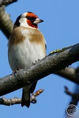 Chardonneret élégant - Carduelis carduelis - European Goldfinch : IMG_3180_©_Michel_NOEL_2020_Lac-Creteil