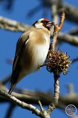 Chardonneret élégant - Carduelis carduelis - European Goldfinch : IMG_3173_©_Michel_NOEL_2020_Lac-Creteil