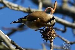 Chardonneret élégant - Carduelis carduelis - European Goldfinch : IMG_3172_©_Michel_NOEL_2020_Lac-Creteil