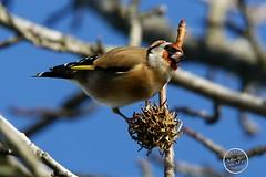 Chardonneret élégant - Carduelis carduelis - European Goldfinch : IMG_3171_©_Michel_NOEL_2020_Lac-Creteil