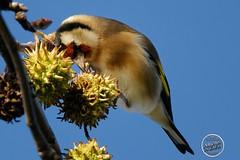 Chardonneret élégant - Carduelis carduelis - European Goldfinch : IMG_3154_©_Michel_NOEL_2020_Lac-Creteil