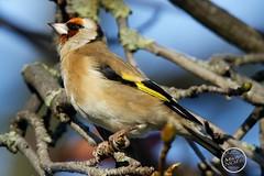 Chardonneret élégant - Carduelis carduelis - European Goldfinch : IMG_3140_©_Michel_NOEL_2020_Lac-Creteil