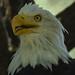 "<p><a href=""https://www.flickr.com/people/154721682@N04/"">Joseph Deems</a> posted a photo:</p>  <p><a href=""https://www.flickr.com/photos/154721682@N04/50629417017/"" title=""Bald Eagle""><img src=""https://live.staticflickr.com/65535/50629417017_ba65fd6e90_m.jpg"" width=""230"" height=""240"" alt=""Bald Eagle"" /></a></p>  <p>Fort Worth Zoo</p>"
