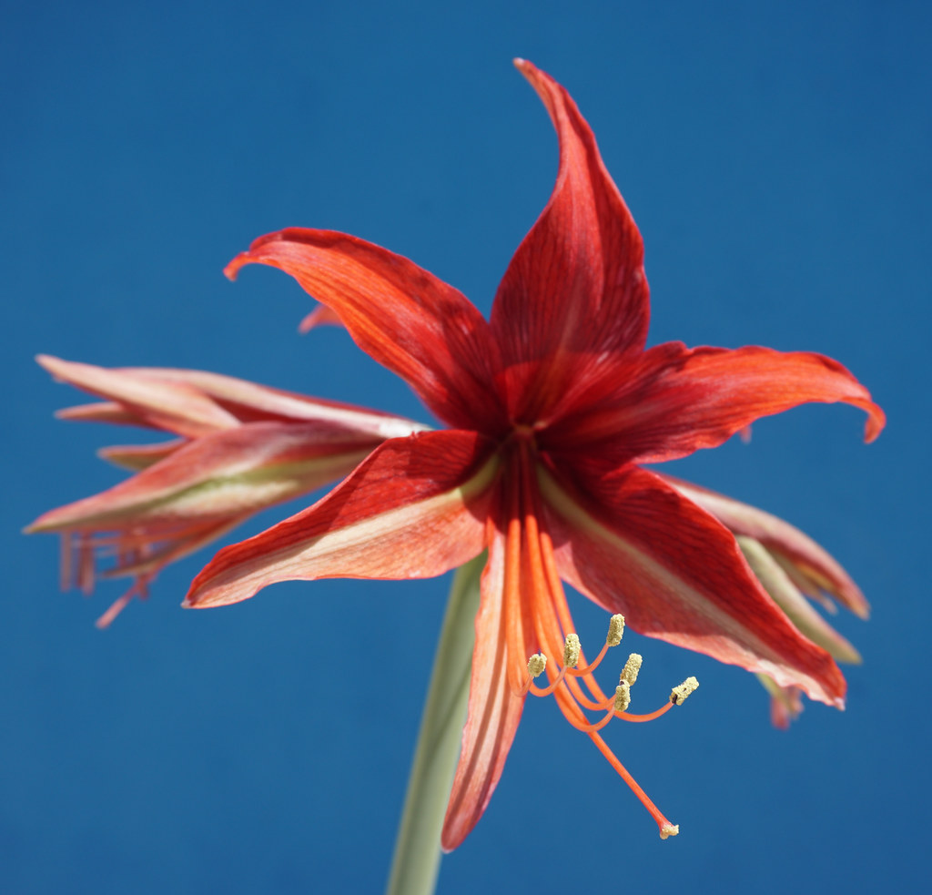 (rare) Hippeastrum hybridum 'Beauty Bogotá' at home.