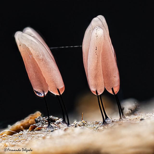 Stemonitidaceae