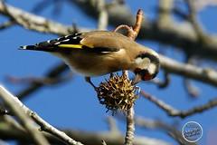 Chardonneret élégant - Carduelis carduelis - European Goldfinch : IMG_3170_©_Michel_NOEL_2020_Lac-Creteil