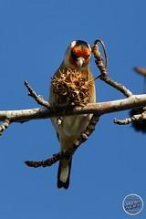 Chardonneret élégant - Carduelis carduelis - European Goldfinch : IMG_3166_©_Michel_NOEL_2020_Lac-Creteil