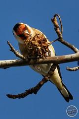 Chardonneret élégant - Carduelis carduelis - European Goldfinch : IMG_3164_©_Michel_NOEL_2020_Lac-Creteil