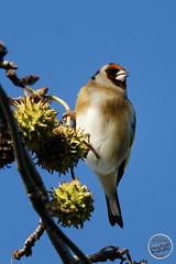 Chardonneret élégant - Carduelis carduelis - European Goldfinch : IMG_3155_©_Michel_NOEL_2020_Lac-Creteil