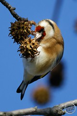 Chardonneret élégant - Carduelis carduelis - European Goldfinch : IMG_3152_©_Michel_NOEL_2020_Lac-Creteil