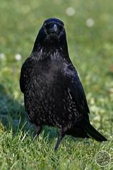 Corneille noire - Corvus corone - Carrion Crow : IMG_3130_©_Michel_NOEL_2020_Lac-Creteil