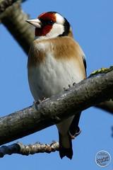 Chardonneret élégant - Carduelis carduelis - European Goldfinch : IMG_3179_©_Michel_NOEL_2020_Lac-Creteil
