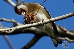 Chardonneret élégant - Carduelis carduelis - European Goldfinch : IMG_3175_©_Michel_NOEL_2020_Lac-Creteil
