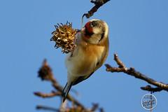 Chardonneret élégant - Carduelis carduelis - European Goldfinch : IMG_3160_©_Michel_NOEL_2020_Lac-Creteil