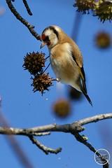Chardonneret élégant - Carduelis carduelis - European Goldfinch : IMG_3153_©_Michel_NOEL_2020_Lac-Creteil