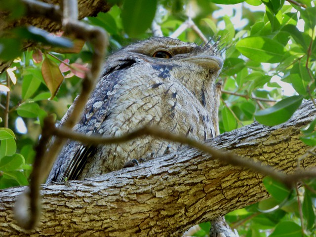 Tawney Frogmouth.