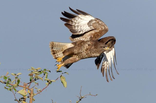 Common Buzzard, Buse variable (Buteo buteo) - Lanaye, BELGIUM