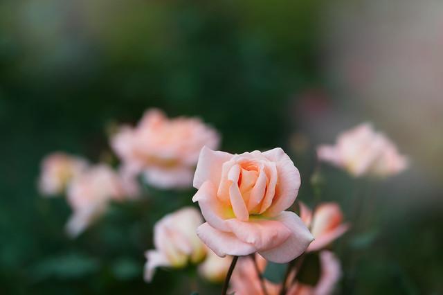 Rose 79