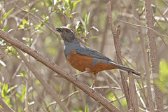 Rufous-bellied Mountain-Tanager