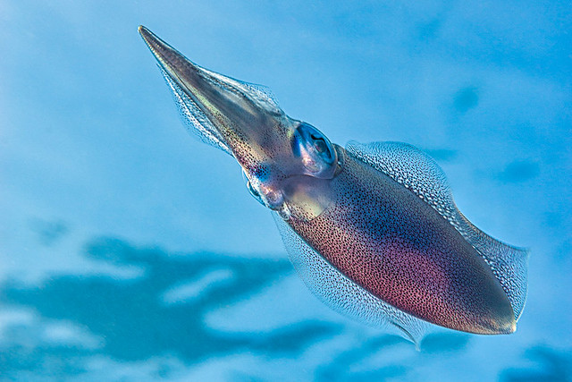 Bigfin reef squid - Sepiotheutis lessoniana