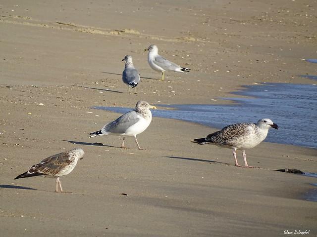 gulls DSC05295