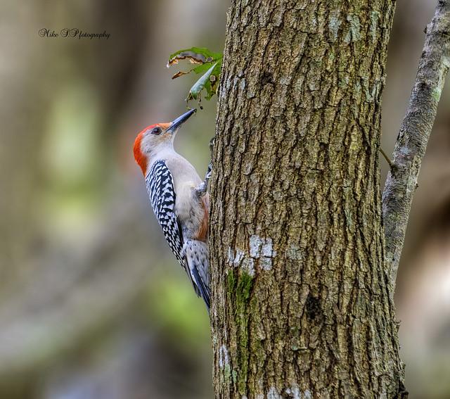 Red-bellied Woodpecker,male