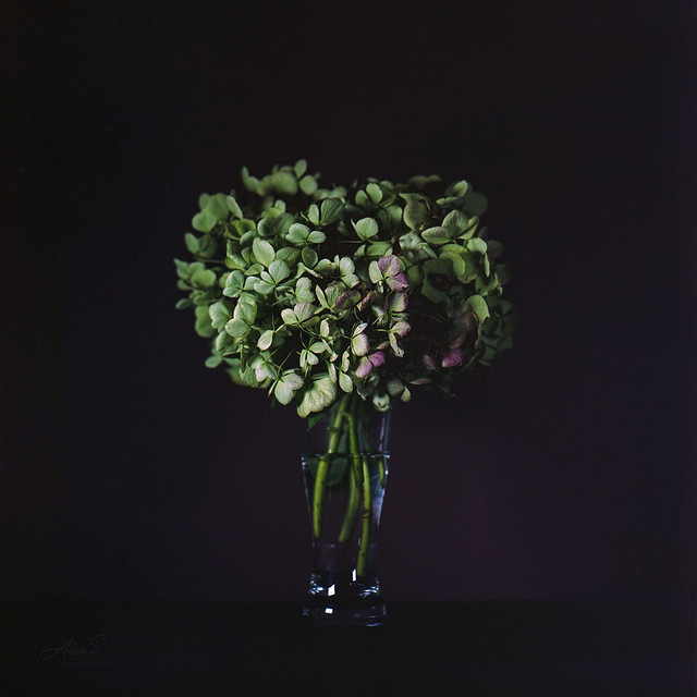 French Hydrangea - Film Hasselblad