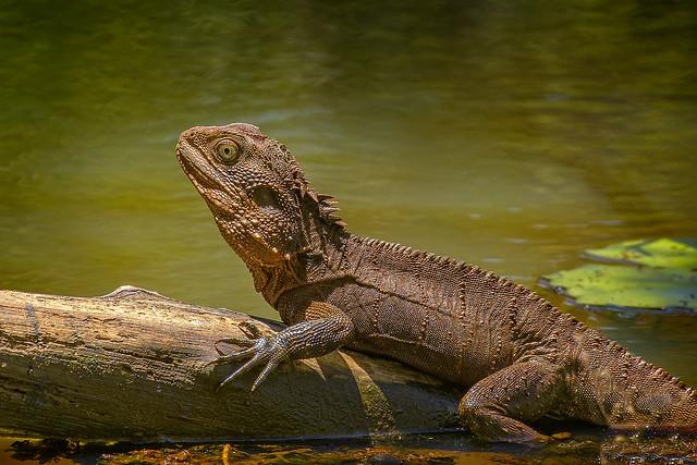 water dragon (Explore 23 Nov 2020)