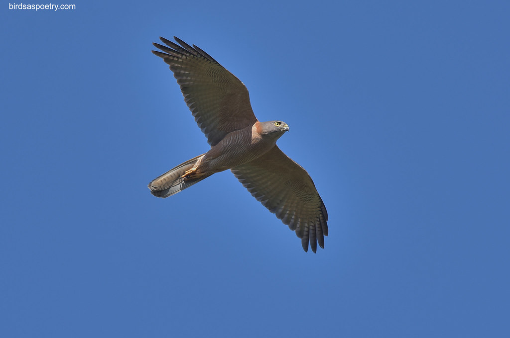 Brown Goshawk: Fly By