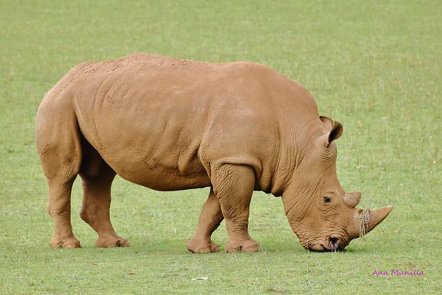 Rinoceronte IMG_3231