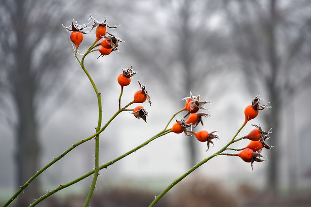 Rose hip in winter (Hagebutten im Winter)