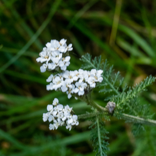 November flowering yarrow