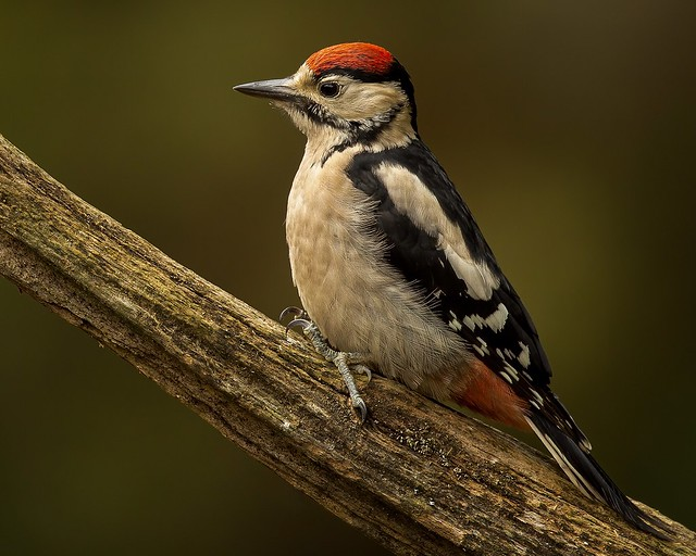 Great Spotted Woodpecker (juvenile)