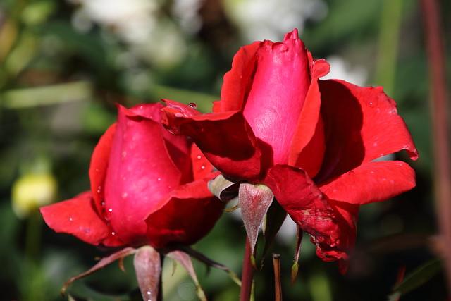 Roses are still red