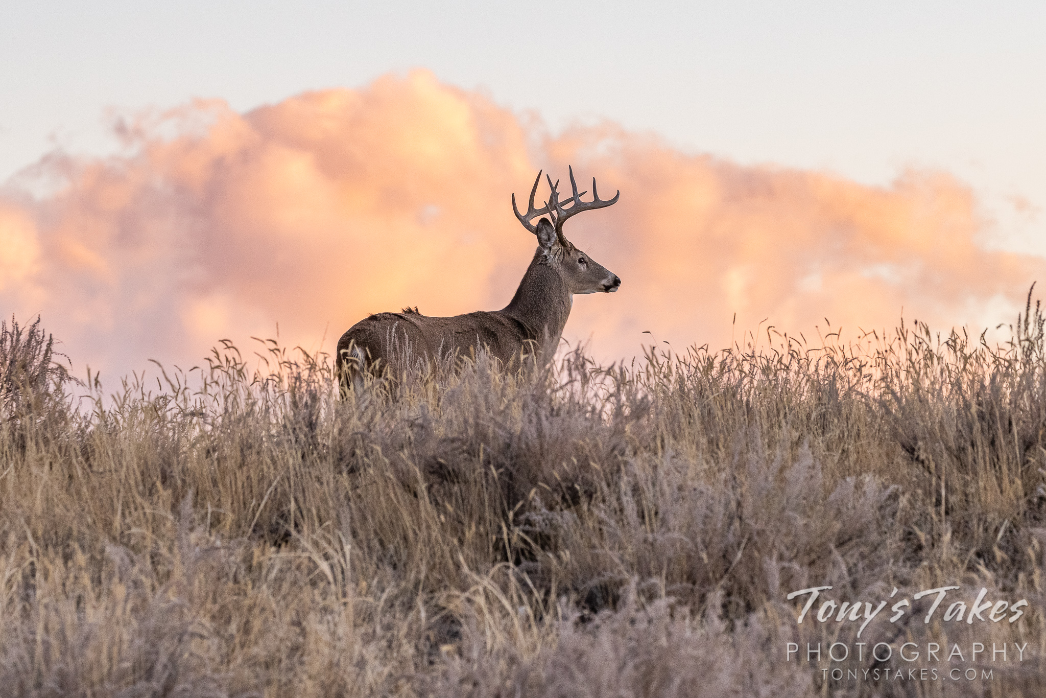 White-tailed deer buck at morning's first light
