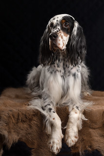 English setter - Lucksheray Be My Only One.            Photo by Jaren Kaju | by Lemmikloomade pildistamine