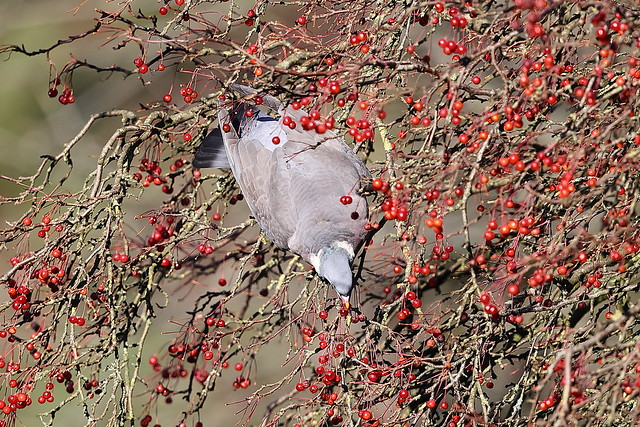 Woodpigeon and Red Berries