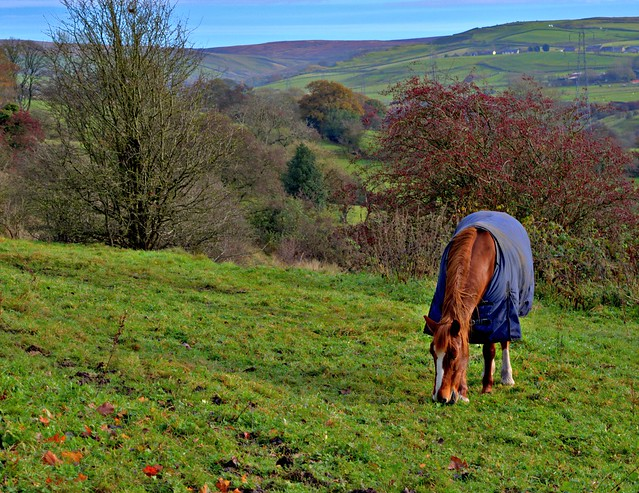 Horse in a jacket in a Lancashire field