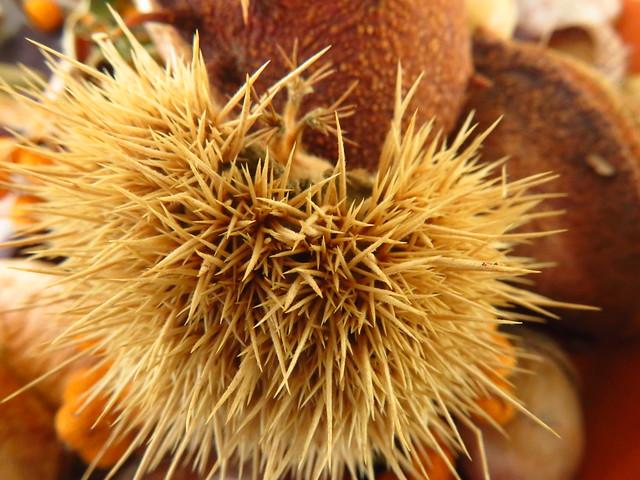 Stachelige Hülle der Esskastanie / Spiky Chestnut