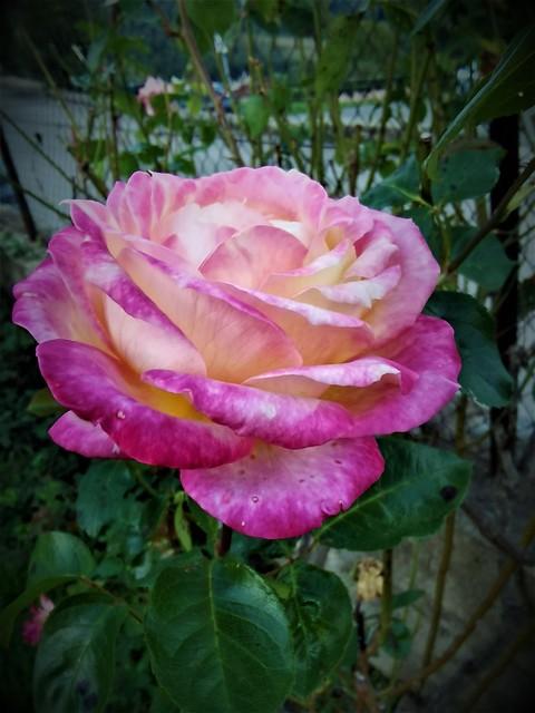 Ùltima rosa de la temporada.