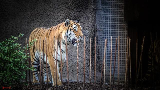 #Tiger - 9103