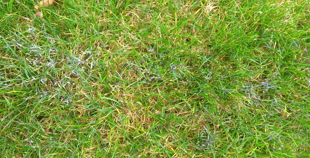 Grey Slime Mould (physarum cinereum)