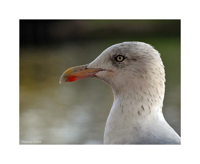 Gull Portrait